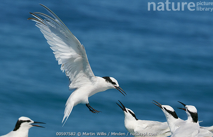 Black-naped Tern (Sterna sumatrana) landing, Great Barrier Reef, Queensland, Australia  ,  Adult, Australia, Black-naped Tern, Color Image, Day, Five Animals, Flying, Full Length, Great Barrier Reef, Horizontal, Landing, Nobody, Outdoors, Photography, Queensland, Seabird, Side View, Sterna sumatrana, Wildlife  ,  Martin Willis