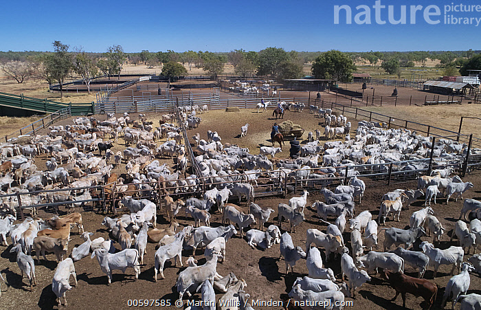Domestic Cattle (Bos taurus) herd in corrals with cowboys, Australia  ,  Adult, Aerial View, Australia, Bos taurus, Color Image, Corral, Cowboy, Day, Domestic Cattle, Full Length, Gathering, Herd, Herding, High Angle View, Horizontal, Horseback Rider, Large Group of Animals, Livestock, Outdoors, Photography, Ranch, Riding, Side View, Three People  ,  Martin Willis
