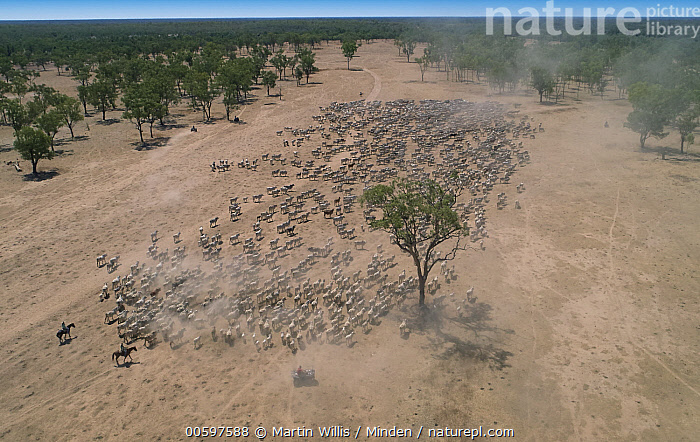 Domestic Cattle (Bos taurus) herd being herded by cowboys, Australia  ,  Adult, Aerial View, Australia, Bos taurus, Color Image, Cowboy, Day, Domestic Cattle, Front View, Full Length, Gathering, Herd, Herding, Horizontal, Horseback Rider, Large Group of Animals, Livestock, Outdoors, Photography, Side View, Three People  ,  Martin Willis
