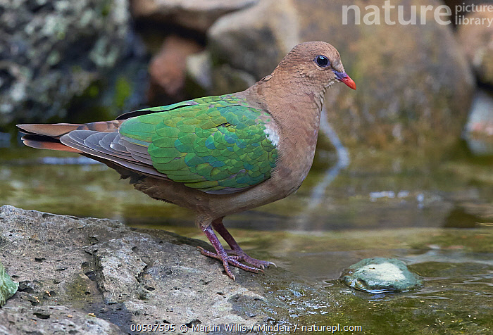 Emerald Dove (Chalcophaps indica), Atherton Tableland, Queensland, Australia  ,  Adult, Atherton Tableland, Australia, Chalcophaps indica, Color Image, Day, Emerald Dove, Full Length, Horizontal, Nobody, One Animal, Outdoors, Photography, Queensland, Side View, Wildlife  ,  Martin Willis