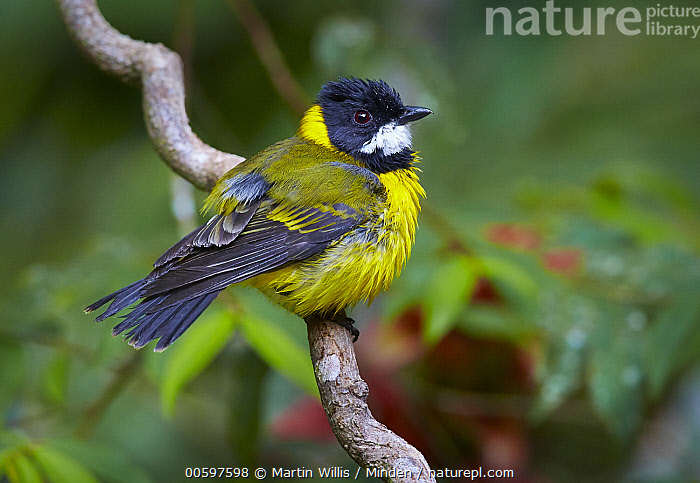 Golden Whistler (Pachycephala pectoralis) male, Atherton Tableland, Queensland, Australia  ,  Adult, Atherton Tableland, Australia, Color Image, Day, Full Length, Golden Whistler, Horizontal, Male, Nobody, One Animal, Outdoors, Pachycephala pectoralis, Photography, Queensland, Side View, Songbird, Wildlife  ,  Martin Willis