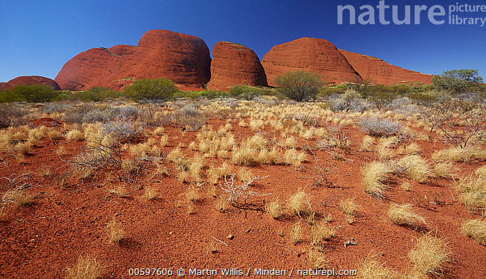Spinifex Grass (Spinifex sp) in desert, Kata Tjuta, Australia  ,  Australia, Blue Sky, Color Image, Day, Desert, Horizontal, Kata Tjuta, Landscape, Nobody, Outdoors, Panoramic, Photography, Spinifex Grass, Spinifex sp  ,  Martin Willis