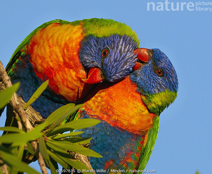 Rainbow Lorikeet (Trichoglossus haematodus) pair preening during courtship, Magnetic Island, Queensland, Australia  ,  Adult, Affection, Allopreening, Australia, Bonding, Color Image, Colorful, Courting, Day, Female, Friend, Front View, Grooming, Horizontal, Magnetic Island, Male, Nobody, Outdoors, Parrot, Photography, Preening, Queensland, Rainbow Lorikeet, Side View, Tenderness, Trichoglossus haematodus, Two Animals, Waist Up, Wildlife  ,  Martin Willis