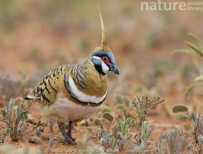 Spinifex Pigeon (Geophaps plumifera), Queensland, Australia  ,  Adult, Australia, Color Image, Day, Full Length, Geophaps plumifera, Horizontal, Nobody, One Animal, Outdoors, Photography, Queensland, Side View, Spinifex Pigeon, Wildlife  ,  Martin Willis