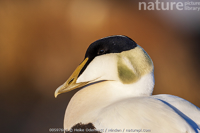 Common Eider (Somateria mollissima) male, Svalbard, Norway  ,  Adult, Color Image, Common Eider, Day, Horizontal, Male, Nobody, Norway, One Animal, Outdoors, Photography, Side View, Somateria mollissima, Svalbard, Waist Up, Waterfowl, Wildlife  ,  Heike Odermatt
