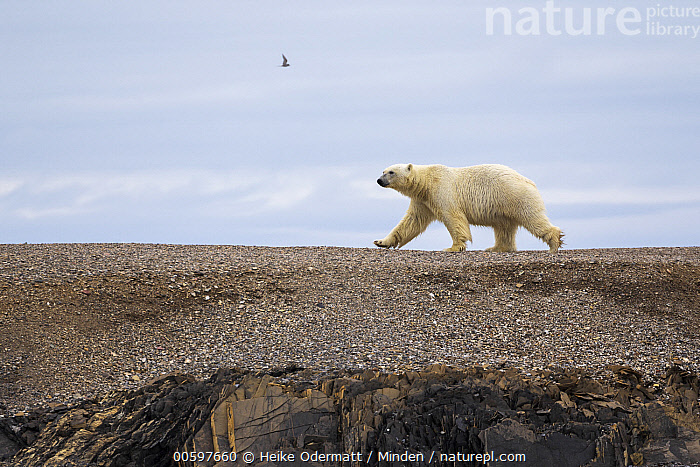Polar Bear (Ursus maritimus) walking across open ground, Murchisonfjorden, Nordaustlandet, Svalbard, Norway  ,  Adult, Color Image, Day, Full Length, Horizontal, Murchisonfjorden, Nobody, Norway, Nordaustlandet, One Animal, Outdoors, Photography, Polar Bear, Side View, Svalbard, Threatened Species, Ursus maritimus, Vulnerable Species, Walking, Wildlife  ,  Heike Odermatt