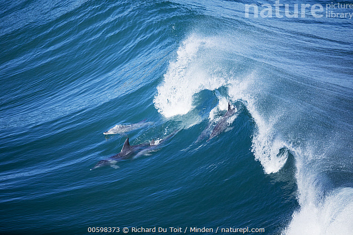 Indo-pacific Bottlenose Dolphin (Tursiops aduncus) group surfing wave, Western Cape, South Africa  ,  Adult, Aerial View, Breaking, Color Image, Day, Full Length, Horizontal, Indo-pacific Bottlenose Dolphin, Marine Mammal, Nobody, Outdoors, Photography, Side View, South Africa, Surface, Surfing, Three Animals, Tursiops aduncus, Wave, Western Cape, Wildlife  ,  Richard Du Toit