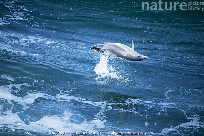 Indo-pacific Bottlenose Dolphin (Tursiops aduncus) jumping, Western Cape, South Africa  ,  Adult, Aerial View, Color Image, Day, Full Length, Horizontal, Indo-pacific Bottlenose Dolphin, Jumping, Marine Mammal, Nobody, One Animal, Outdoors, Photography, Side View, South Africa, Spinning, Surface, Tursiops aduncus, Upside Down, Western Cape, Wildlife  ,  Richard Du Toit