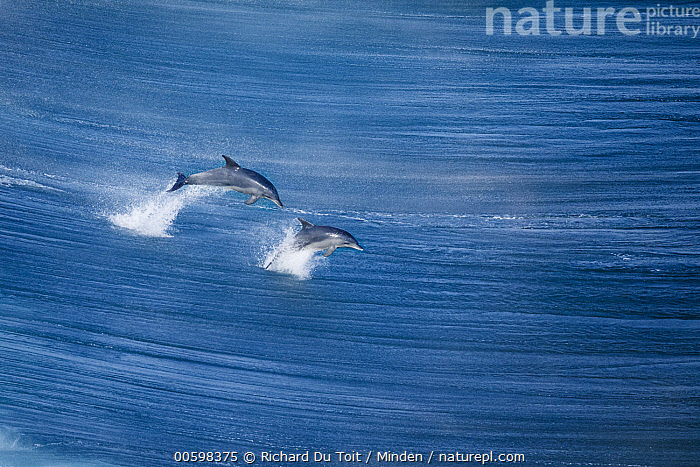 Indo-pacific Bottlenose Dolphin (Tursiops aduncus) pair jumping, Western Cape, South Africa  ,  Adult, Aerial View, Animal in Habitat, Color Image, Day, Full Length, Horizontal, Indo-pacific Bottlenose Dolphin, Jumping, Marine Mammal, Nobody, Outdoors, Photography, Side View, South Africa, Surface, Tursiops aduncus, Two Animals, Western Cape, Wildlife  ,  Richard Du Toit