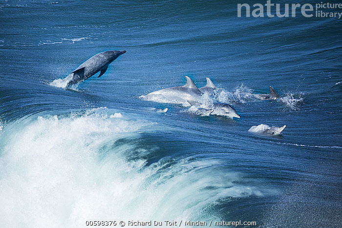 Indo-pacific Bottlenose Dolphin (Tursiops aduncus) jumping, Western Cape, South Africa  ,  Adult, Aerial View, Color Image, Day, Full Length, Horizontal, Indo-pacific Bottlenose Dolphin, Jumping, Marine Mammal, Medium Group of Animals, Nobody, Outdoors, Photography, Pod, Side View, South Africa, Surface, Tursiops aduncus, Wave, Western Cape, Wildlife  ,  Richard Du Toit