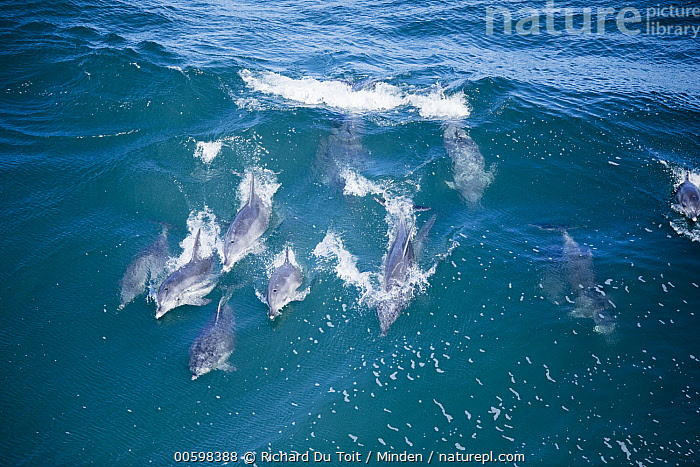 Indo-pacific Bottlenose Dolphin (Tursiops aduncus) pod surfing wave, Western Cape, South Africa  ,  Adult, Aerial View, Color Image, Day, Full Length, Horizontal, Indo-pacific Bottlenose Dolphin, Marine Mammal, Medium Group of Animals, Nobody, Outdoors, Photography, Pod, South Africa, Surface, Surfing, Tursiops aduncus, Wave, Western Cape, Wildlife  ,  Richard Du Toit