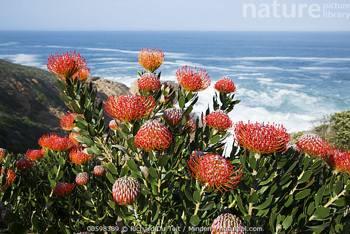 Pincushion (Leucospermum sp) flowers along coast, Western Cape, South Africa  ,  Blue Sky, Coast, Color Image, Day, Flower, Horizon, Horizontal, Landscape, Leucospermum sp, Nobody, Outdoors, Photography, Pincushion, Red, South Africa, Western Cape  ,  Richard Du Toit