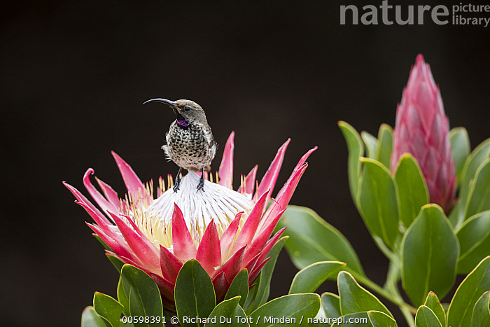 Amethyst Sunbird (Amethyst Sunbird) sub-adult male on King Protea (Protea cynaroides) flower, Western Cape, South Africa  ,  Adult, Amethyst Sunbird, Color Image, Day, Flower, Front View, Full Length, Horizontal, King Protea, Male, Nectarinia amethystina, Nobody, One Animal, Outdoors, Photography, Protea cynaroides, Songbird, South Africa, Sub-Adult, Western Cape, Wildlife  ,  Richard Du Toit