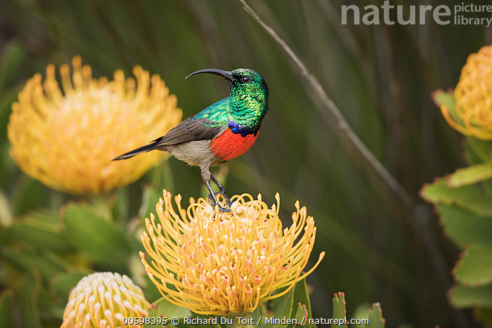 Greater Double-collared Sunbird (Nectarinia afra) male on Pincushion (Leucospermum sp) flower, Western Cape, South Africa, Adult, Color Image, Day, Flower, Full Length, Greater Double-collared Sunbird, Horizontal, Male, Nectarinia afra, Nobody, One Animal, Outdoors, Photography, Side View, Songbird, Wildlife, Richard Du Toit