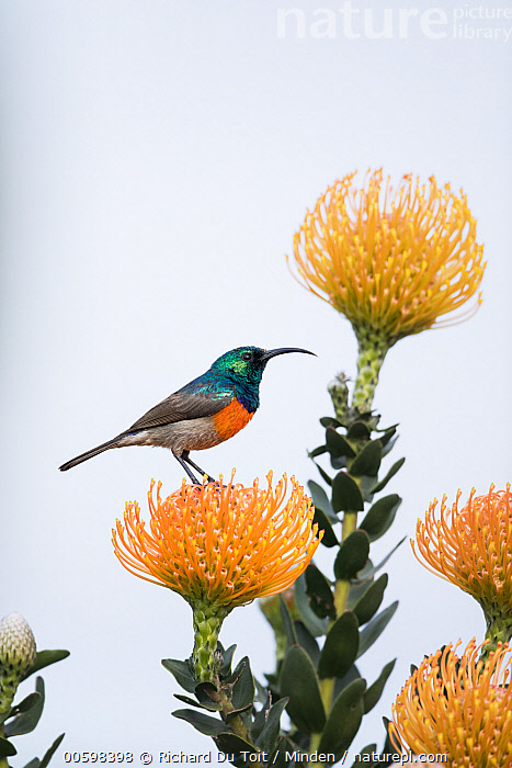 Greater Double-collared Sunbird (Nectarinia afra) male on Pincushion (Leucospermum sp) flower, Western Cape, South Africa  ,  Adult, Color Image, Day, Flower, Full Length, Greater Double-collared Sunbird, Leucospermum sp, Male, Nectarinia afra, Nobody, One Animal, Outdoors, Photography, Pincushion, Side View, Songbird, South Africa, Vertical, Western Cape, Wildlife  ,  Richard Du Toit
