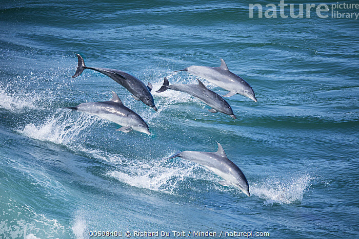 Indo-pacific Bottlenose Dolphin (Tursiops aduncus) pod jumping in waves, Western Cape, South Africa  ,  Adult, Aerial View, Color Image, Day, Five Animals, Full Length, Horizontal, Indo-pacific Bottlenose Dolphin, Jumping, Marine Mammal, Nobody, Outdoors, Photography, Pod, Side View, South Africa, Surface, Tursiops aduncus, Wave, Western Cape, Wildlife  ,  Richard Du Toit