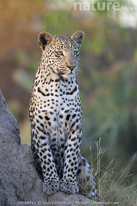 Leopard (Panthera pardus) sixteen month old cub, Jao Reserve, Botswana  ,  Adult, Baby, Botswana, Color Image, Cub, Day, Front View, Full Length, Jao Reserve, Leopard, Nobody, One Animal, Outdoors, Panthera pardus, Photography, Vertical, Wildlife  ,  Suzi Eszterhas