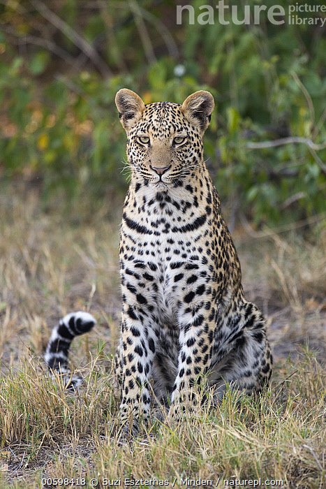 Leopard (Panthera pardus) sixteen month old cub, Jao Reserve, Botswana  ,  Adult, Baby, Botswana, Color Image, Cub, Day, Front View, Full Length, Jao Reserve, Leopard, Looking at Camera, Nobody, One Animal, Outdoors, Panthera pardus, Photography, Vertical, Wildlife  ,  Suzi Eszterhas