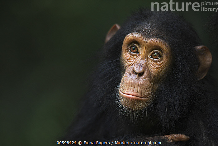 Eastern Chimpanzee (Pan troglodytes schweinfurthii) four year old infant male, named Gizmo, Gombe National Park, Tanzania  ,  Adult, Baby, Close Up, Color Image, Day, Eastern Chimpanzee, Endangered Species, Front View, Gombe National Park, Head and Shoulders, Horizontal, Infant, Male, Nobody, One Animal, Outdoors, Pan troglodytes schweinfurthii, Photography, Portrait, Tanzania, Wildlife  ,  Fiona Rogers
