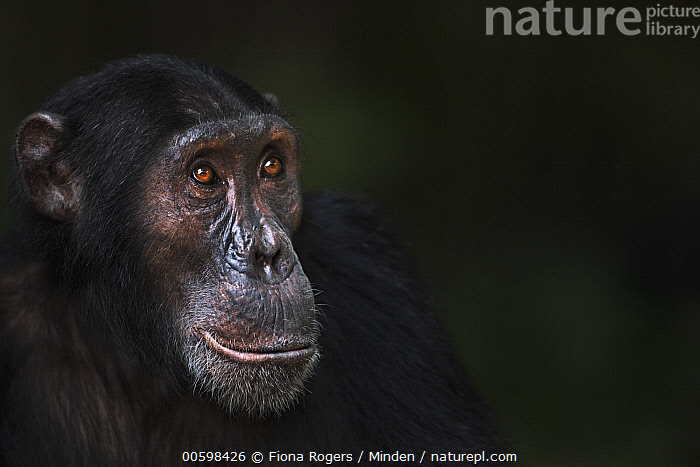 Eastern Chimpanzee (Pan troglodytes schweinfurthii) eighteen year old male, named Sampson, Gombe National Park, Tanzania  ,  Adult, Close Up, Color Image, Day, Eastern Chimpanzee, Endangered Species, Gombe National Park, Head and Shoulders, Horizontal, Male, Nobody, One Animal, Outdoors, Pan troglodytes schweinfurthii, Photography, Portrait, Profile, Side View, Tanzania, Wildlife  ,  Fiona Rogers
