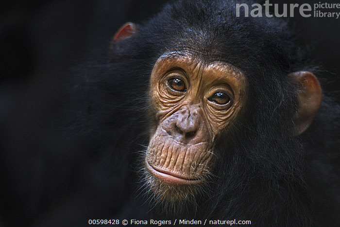 Eastern Chimpanzee (Pan troglodytes schweinfurthii) four year old infant male, named Gizmo, Gombe National Park, Tanzania  ,  Adult, Baby, Close Up, Color Image, Day, Eastern Chimpanzee, Endangered Species, Face, Front View, Gombe National Park, Head and Shoulders, Horizontal, Infant, Looking at Camera, Male, Nobody, One Animal, Outdoors, Pan troglodytes schweinfurthii, Photography, Portrait, Tanzania, Wildlife  ,  Fiona Rogers