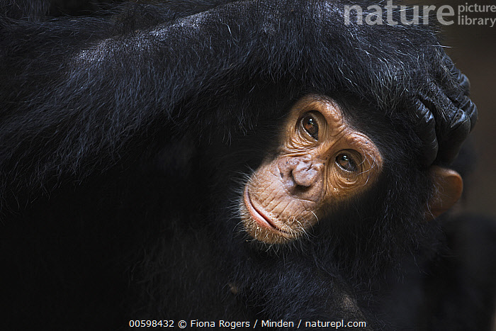 Eastern Chimpanzee (Pan troglodytes schweinfurthii) four year old infant male, named Gizmo, being groomed, Gombe National Park, Tanzania  ,  Adult, Baby, Bonding, Color Image, Day, Eastern Chimpanzee, Endangered Species, Front View, Gombe National Park, Grooming, Head and Shoulders, Horizontal, Infant, Male, Nobody, Outdoors, Pan troglodytes schweinfurthii, Photography, Tanzania, Two Animals, Wildlife  ,  Fiona Rogers