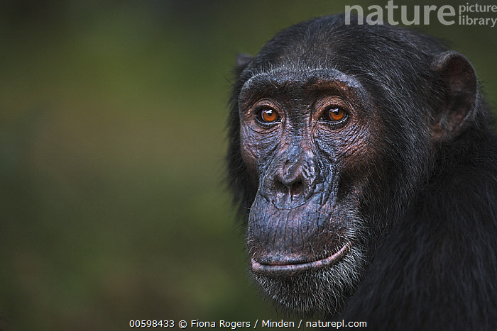 Eastern Chimpanzee (Pan troglodytes schweinfurthii) eighteen year old male, named Sampson, Gombe National Park, Tanzania  ,  Adult, Close Up, Color Image, Day, Eastern Chimpanzee, Endangered Species, Gombe National Park, Head and Shoulders, Horizontal, Looking at Camera, Male, Nobody, One Animal, Outdoors, Pan troglodytes schweinfurthii, Photography, Portrait, Profile, Side View, Tanzania, Wildlife  ,  Fiona Rogers