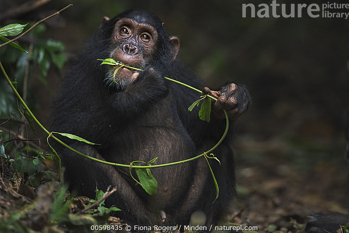 Eastern Chimpanzee (Pan troglodytes schweinfurthii) seven year old juvenile male, named Siri, feeding on vines, Gombe National Park, Tanzania, Adult, Color Image, Day, Eastern Chimpanzee, Endangered Species, Feeding, Front View, Gombe National Park, Horizontal, Juvenile, Male, Nobody, One Animal, Outdoors, Pan troglodytes schweinfurthii, Photography, Tanzania, Three Quarter Length, Wildlife, Fiona Rogers