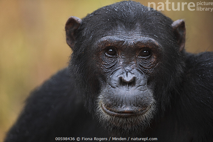 Eastern Chimpanzee (Pan troglodytes schweinfurthii) seventeen year old male, named Fudge, Gombe National Park, Tanzania  ,  Adult, Close Up, Color Image, Day, Eastern Chimpanzee, Endangered Species, Front View, Gombe National Park, Head and Shoulders, Horizontal, Looking at Camera, Male, Nobody, One Animal, Outdoors, Pan troglodytes schweinfurthii, Photography, Portrait, Tanzania, Wildlife  ,  Fiona Rogers