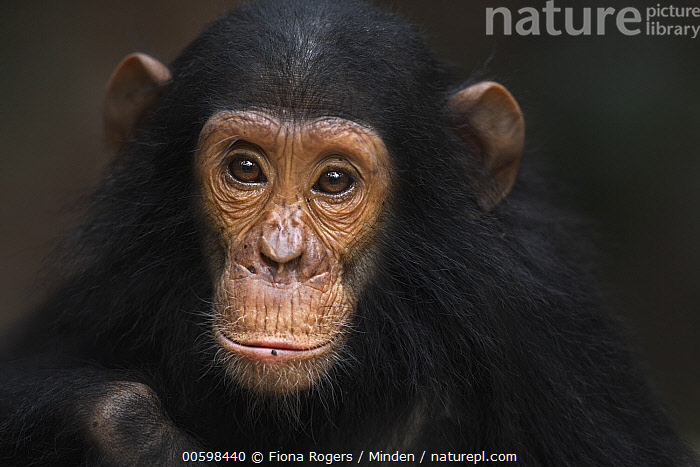 Eastern Chimpanzee (Pan troglodytes schweinfurthii) five year old infant male, named Gizmo, Gombe National Park, Tanzania  ,  Adult, Baby, Close Up, Color Image, Day, Eastern Chimpanzee, Endangered Species, Front View, Gombe National Park, Head and Shoulders, Horizontal, Infant, Looking at Camera, Male, Nobody, One Animal, Outdoors, Pan troglodytes schweinfurthii, Photography, Portrait, Tanzania, Wildlife  ,  Fiona Rogers