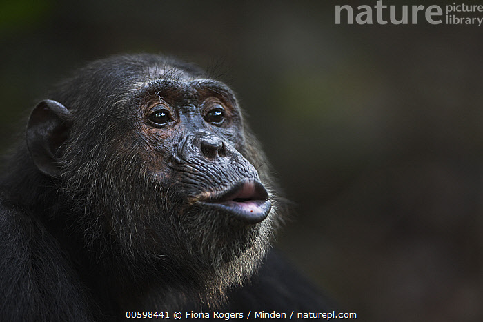 Eastern Chimpanzee (Pan troglodytes schweinfurthii) twenty-five year old male, named Faustino, calling, Gombe National Park, Tanzania  ,  Adult, Calling, Color Image, Day, Eastern Chimpanzee, Endangered Species, Gombe National Park, Head and Shoulders, Hooting, Horizontal, Male, Nobody, One Animal, Outdoors, Pan troglodytes schweinfurthii, Photography, Portrait, Profile, Side View, Tanzania, Wildlife  ,  Fiona Rogers