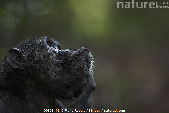 Eastern Chimpanzee (Pan troglodytes schweinfurthii) twenty-five year old male, named Faustino, scratching himself, Gombe National Park, Tanzania  ,  Adult, Color Image, Day, Eastern Chimpanzee, Endangered Species, Gombe National Park, Head and Shoulders, Horizontal, Looking Up, Male, Nobody, One Animal, Outdoors, Pan troglodytes schweinfurthii, Photography, Portrait, Profile, Scratching, Side View, Tanzania, Thinking, Wildlife  ,  Fiona Rogers