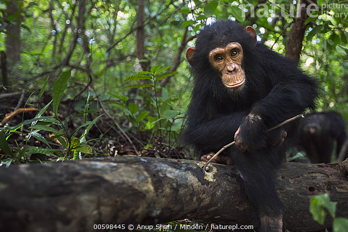 Eastern Chimpanzee (Pan troglodytes schweinfurthii) four year old infant male, named Gizmo, foraging for insects in log, Gombe National Park, Tanzania  ,  Adult, Baby, Color Image, Day, Eastern Chimpanzee, Endangered Species, Foraging, Front View, Full Length, Gombe National Park, Horizontal, Infant, Looking at Camera, Male, Nobody, One Animal, Outdoors, Pan troglodytes schweinfurthii, Photography, Tanzania, Termite Fishing, Tool Use, Wildlife  ,  Anup Shah
