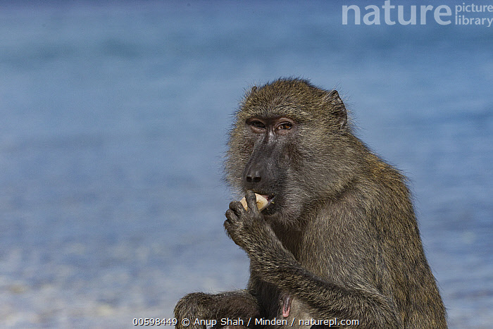 Olive Baboon (Papio anubis) female licking stones for minerals, Gombe National Park, Tanzania  ,  Adult, Color Image, Day, Female, Gombe National Park, Horizontal, Licking, Looking at Camera, Mineral, Nobody, Olive Baboon, One Animal, Outdoors, Papio anubis, Photography, Rock, Side View, Tanzania, Waist Up, Wildlife  ,  Anup Shah