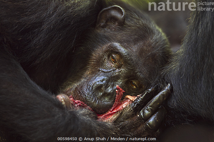 Eastern Chimpanzee (Pan troglodytes schweinfurthii) forty year old female, named Sandi, feeding on meat from kill, Gombe National Park, Tanzania  ,  Adult, Carnivore, Color Image, Day, Eastern Chimpanzee, Endangered Species, Feeding, Female, Gombe National Park, Head and Shoulders, Horizontal, Nobody, One Animal, Outdoors, Pan troglodytes schweinfurthii, Photography, Predator, Prey, Side View, Tanzania, Wildlife  ,  Anup Shah