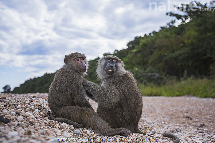 Olive Baboon (Papio anubis) pair grooming, Gombe National Park, Tanzania  ,  Adult, Bonding, Color Image, Day, Full Length, Gombe National Park, Grooming, Horizontal, Nobody, Olive Baboon, Outdoors, Papio anubis, Photography, Side View, Tanzania, Two Animals, Wildlife  ,  Anup Shah