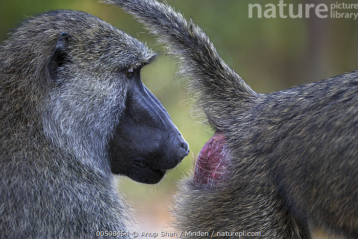 Olive Baboon (Papio anubis) male inspecting female for signs of estrus, Gombe National Park, Tanzania  ,  Adult, Color Image, Day, Female, Gombe National Park, Head and Shoulders, Horizontal, Inspecting, Male, Nobody, Olive Baboon, Outdoors, Papio anubis, Photography, Reproduction, Side View, Smelling, Tanzania, Two Animals, Wildlife  ,  Anup Shah