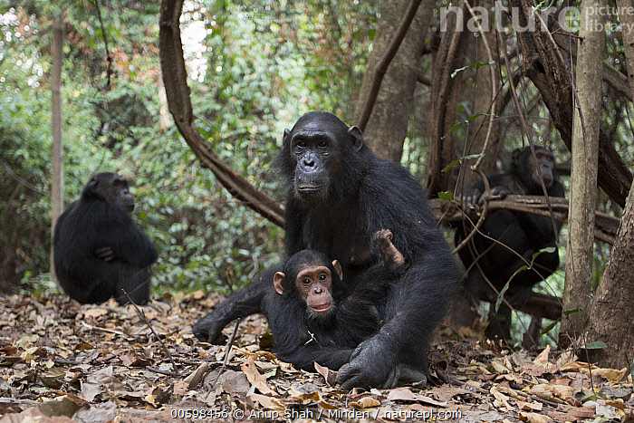 Eastern Chimpanzee (Pan troglodytes schweinfurthii) sixteen year old female, named Glitter, with her two year old daughter, Gossamer, Gombe National Park, Tanzania  ,  Adult, Animal in Habitat, Baby, Color Image, Day, Daughter, Eastern Chimpanzee, Endangered Species, Female, Four Animals, Full Length, Gombe National Park, Horizontal, Looking at Camera, Mother, Nobody, Outdoors, Pan troglodytes schweinfurthii, Parent, Photography, Side View, Tanzania, Wildlife, Young  ,  Anup Shah