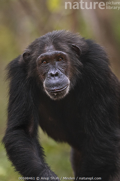 Eastern Chimpanzee (Pan troglodytes schweinfurthii) twenty-five year old female, named Nasa, Gombe National Park, Tanzania  ,  Adult, Color Image, Day, Eastern Chimpanzee, Endangered Species, Female, Front View, Gombe National Park, Looking at Camera, Nobody, One Animal, Outdoors, Pan troglodytes schweinfurthii, Photography, Tanzania, Vertical, Waist Up, Wildlife  ,  Anup Shah