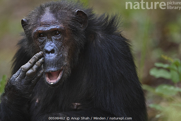 Eastern Chimpanzee (Pan troglodytes schweinfurthii) forty-three year old female, named Gremlin, scratching face, Gombe National Park, Tanzania  ,  Adult, Color Image, Day, Eastern Chimpanzee, Endangered Species, Female, Front View, Gombe National Park, Horizontal, Looking at Camera, Nobody, One Animal, Outdoors, Pan troglodytes schweinfurthii, Photography, Scratching, Tanzania, Waist Up, Wildlife  ,  Anup Shah