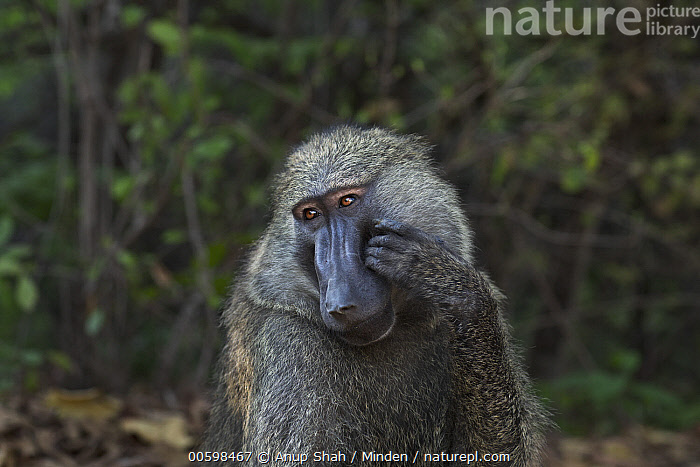 Olive Baboon (Papio anubis) male scratching face, Gombe National Park, Tanzania  ,  Adult, Color Image, Day, Front View, Gombe National Park, Horizontal, Male, Nobody, Olive Baboon, One Animal, Outdoors, Papio anubis, Photography, Scratching, Tanzania, Thinking, Waist Up, Wildlife  ,  Anup Shah