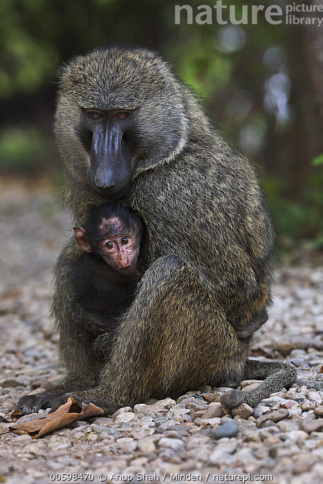 Olive Baboon (Papio anubis) male with three month old young, Gombe National Park, Tanzania  ,  Adult, Baby, Color Image, Day, Father, Full Length, Gombe National Park, Male, Nobody, Olive Baboon, Outdoors, Papio anubis, Parent, Photography, Side View, Tanzania, Two Animals, Vertical, Wildlife, Young  ,  Anup Shah