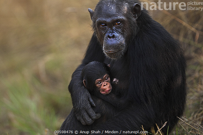 Eastern Chimpanzee (Pan troglodytes schweinfurthii) thirty-three year old female, named Fanni, with her three week old infant, Gombe National Park, Tanzania  ,  Adult, Affection, Baby, Color Image, Cuddling, Day, Eastern Chimpanzee, Endangered Species, Female, Gombe National Park, Holding, Horizontal, Infant, Looking at Camera, Nobody, Outdoors, Pan troglodytes schweinfurthii, Photography, Side View, Tanzania, Tenderness, Two Animals, Waist Up, Wildlife  ,  Anup Shah