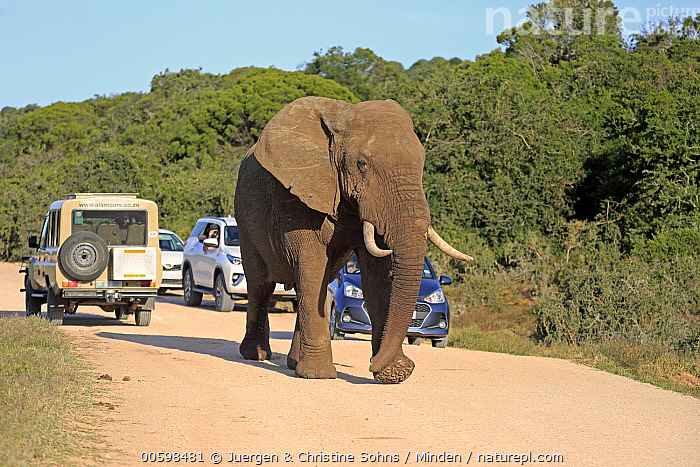 African Elephant (Loxodonta africana) on road near safari vehicles, Addo National Park, South Africa  ,  Addo National Park, Adult, African Elephant, Car, Color Image, Day, Ecotourism, Encroaching, Full Length, Horizontal, Loxodonta africana, One Animal, One Person, Outdoors, Photography, Road, Safari, Side View, South Africa, Threatened Species, Tourist, Traffic, Vulnerable Species, Wildlife  ,  Juergen & Christine Sohns