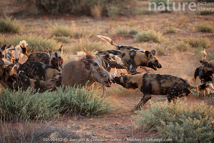 African Wild Dog (Lycaon pictus) group attacking Cape Warthog (Phacochoerus aethiopicus), Tswalu Game Reserve, South Africa  ,  Adult, African Wild Dog, Attacking, Cape Warthog, Color Image, Day, Endangered Species, Full Length, Horizontal, Hunting, Killing, Lycaon pictus, Medium Group of Animals, Nobody, Outdoors, Pack, Phacochoerus aethiopicus, Photography, Predating, Predator, Prey, Side View, South Africa, Tswalu Game Reserve, Wildlife  ,  Juergen & Christine Sohns
