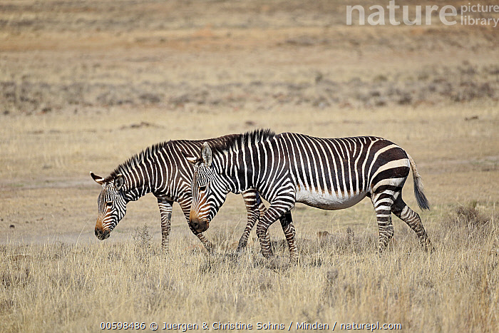 Mountain Zebra (Equus zebra) pair, Mountain Zebra National Park, South Africa  ,  Adult, Color Image, Day, Equus zebra, Full Length, Horizontal, Mountain Zebra, Mountain Zebra National Park, Nobody, Outdoors, Photography, Side View, South Africa, Threatened Species, Two Animals, Vulnerable Species, Wildlife  ,  Juergen & Christine Sohns