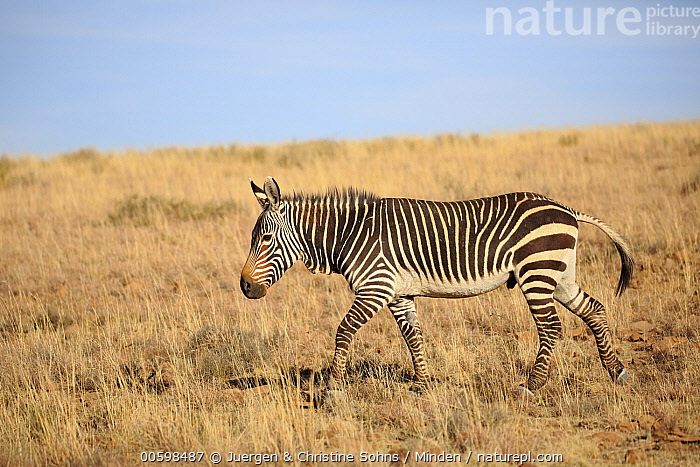 Mountain Zebra (Equus zebra), Mountain Zebra National Park, South Africa  ,  Adult, Color Image, Day, Equus zebra, Full Length, Horizontal, Mountain Zebra, Mountain Zebra National Park, Nobody, One Animal, Outdoors, Photography, Savanna, Side View, South Africa, Threatened Species, Vulnerable Species, Wildlife  ,  Juergen & Christine Sohns