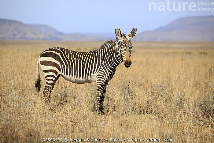 Mountain Zebra (Equus zebra), Mountain Zebra National Park, South Africa  ,  Adult, Color Image, Day, Equus zebra, Full Length, Horizontal, Mountain Zebra, Mountain Zebra National Park, Nobody, One Animal, Outdoors, Photography, Side View, South Africa, Threatened Species, Vulnerable Species, Wildlife  ,  Juergen & Christine Sohns