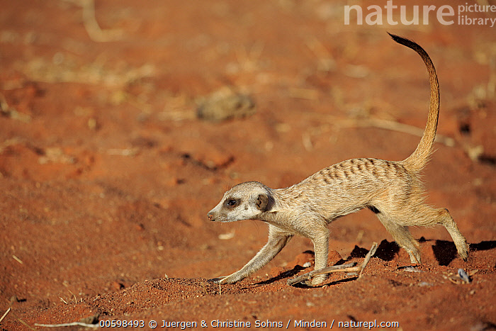 Meerkat (Suricata suricatta), Tswalu Game Reserve, South Africa  ,  Adult, Color Image, Day, Full Length, Horizontal, Meerkat, Nobody, One Animal, Outdoors, Photography, Side View, South Africa, Suricata suricatta, Tswalu Game Reserve, Wildlife  ,  Juergen & Christine Sohns