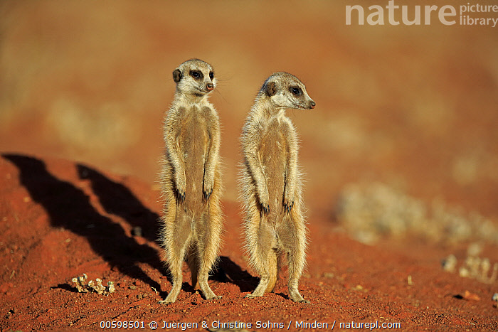 Meerkat (Suricata suricatta) pair on alert, Tswalu Game Reserve, South Africa  ,  Adult, Alert, Color Image, Day, Formation, Front View, Full Length, Horizontal, Meerkat, Nobody, Outdoors, Photography, South Africa, Standing, Suricata suricatta, Tswalu Game Reserve, Two Animals, Upright, Wildlife  ,  Juergen & Christine Sohns